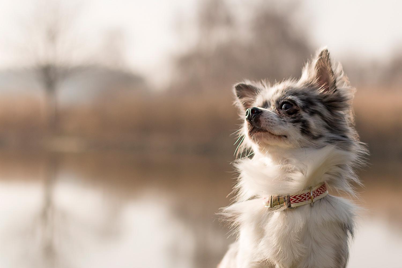 Chihuahua-fotoshoot