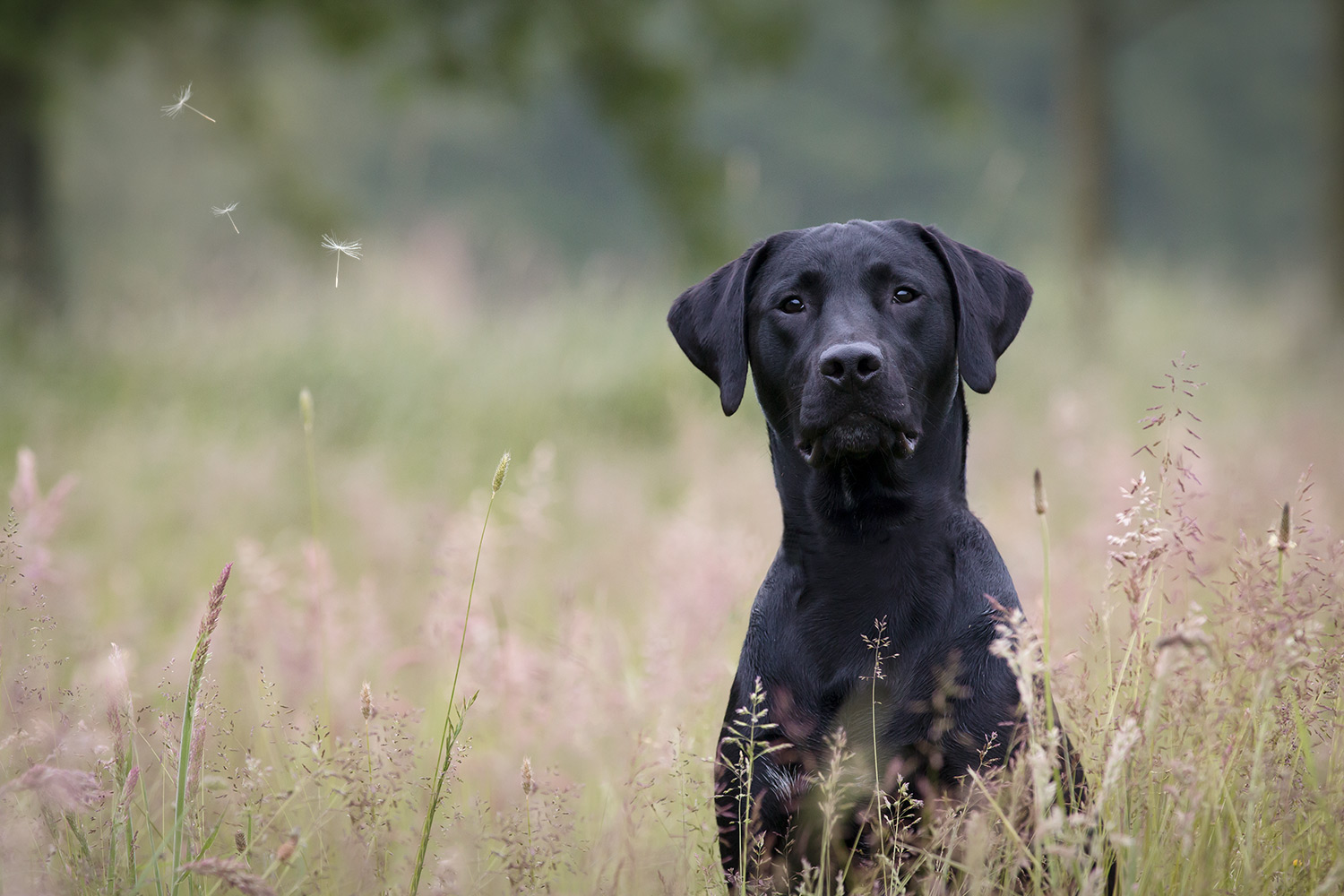Labrador-retriever-fotoshoot