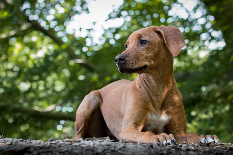 Ridgeback-pup